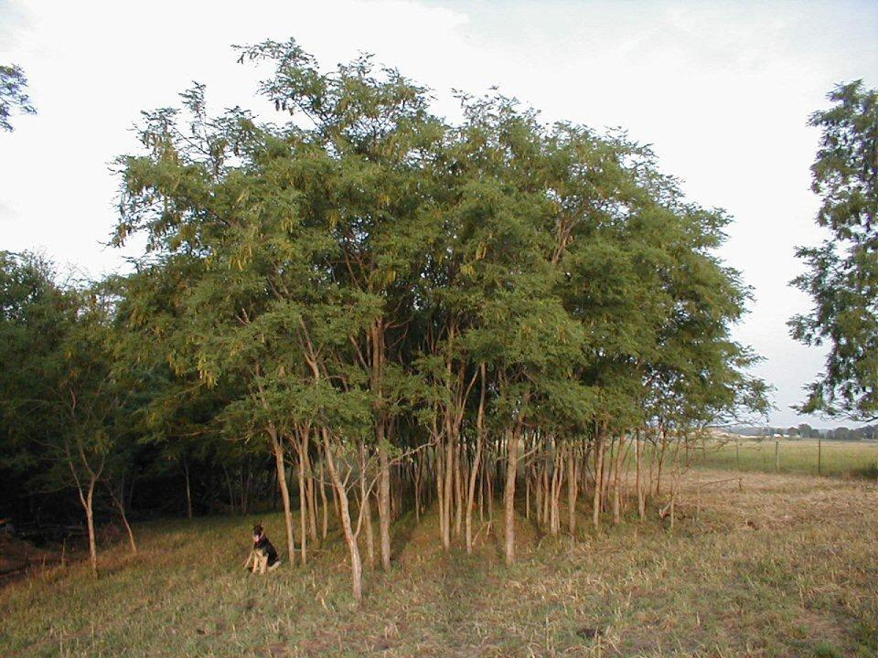 Kleckner oasis black locust for Fast growing trees