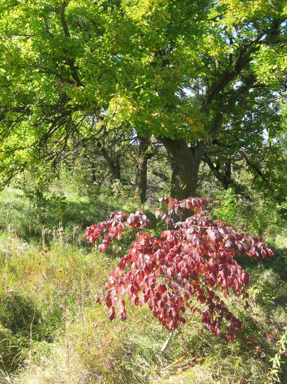 Kleckner Oasis - white oak