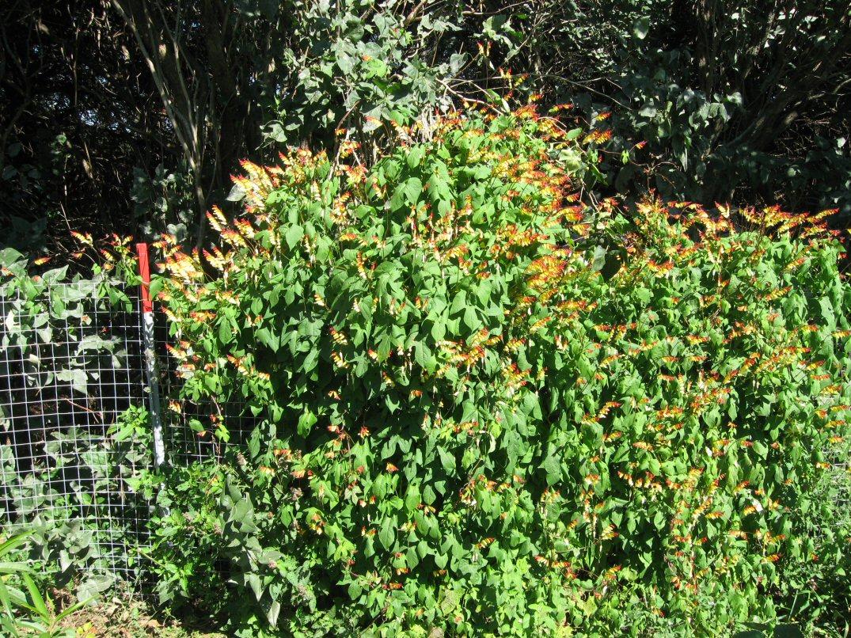 Kleckner Oasis Flowering Vines