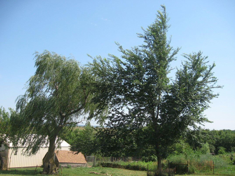 Kleckner oasis red elm for Fast growing trees