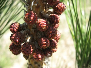 Japanese-Black-Pine-Cones