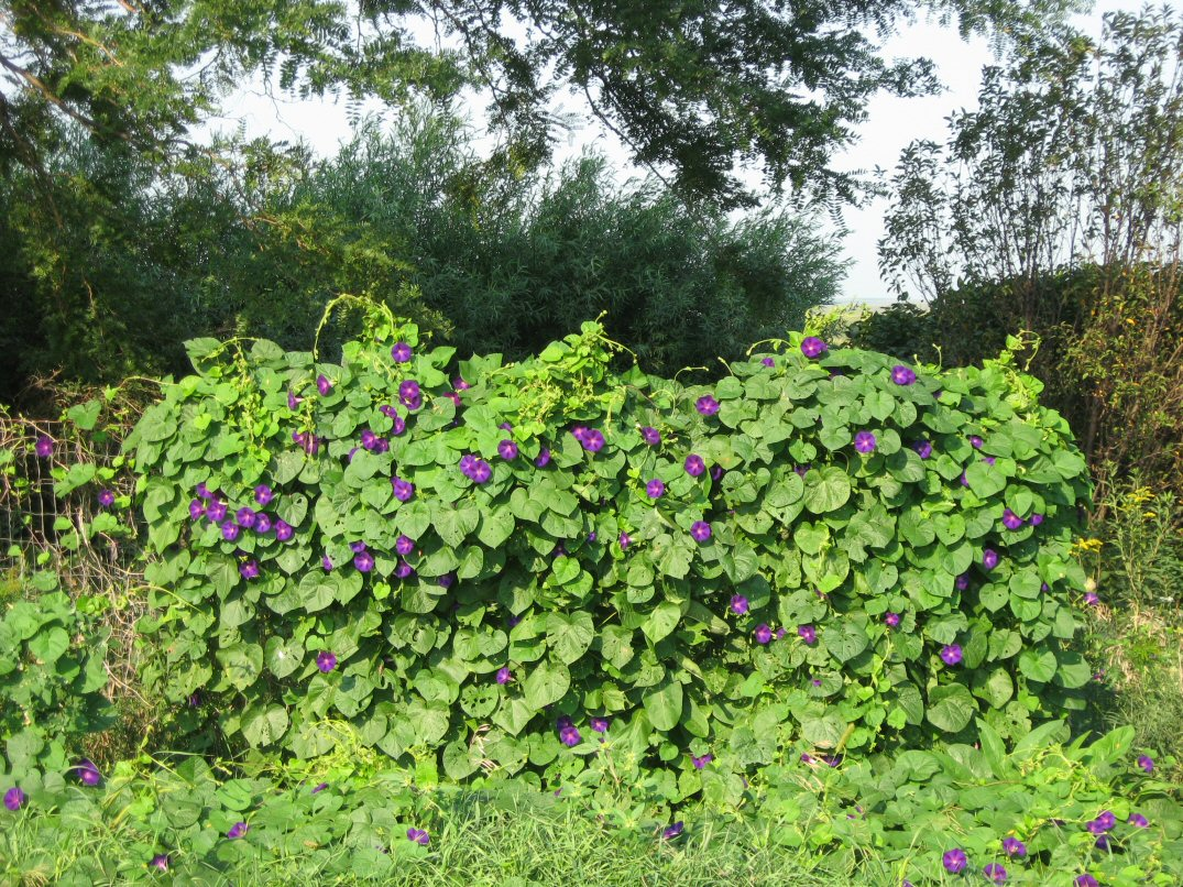 Kleckner Oasis Flowering Vines
