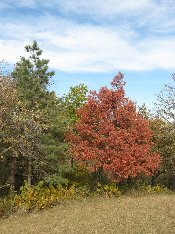 Kleckner oasis white oak