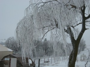 Weeping-Willow-Norway-Spruce