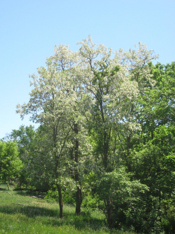 Kleckner Oasis Lilac Flowers