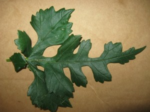 Dissected-Mulberry-Leaf