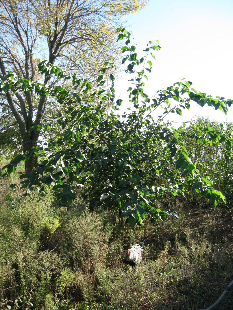 Kleckner oasis illinois everbearing mulberry illinois everbearing mulberry vigorous growth sciox Image collections