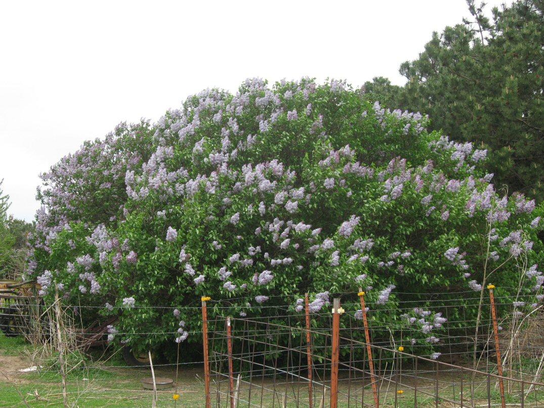 Kleckner oasis lilac flowers for Large flowering shrubs