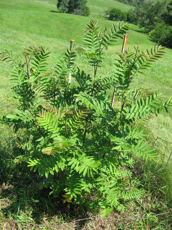 Kleckner oasis pterocarya hupehensis for Fast growing trees