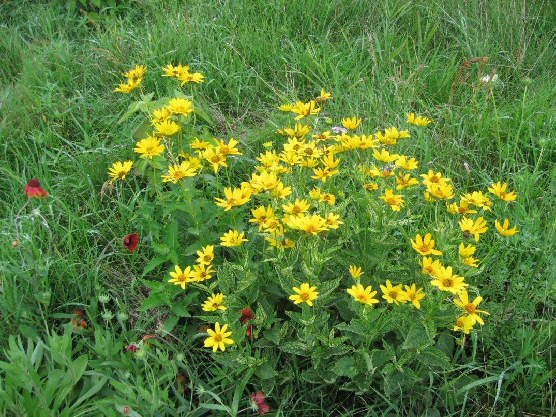 Kleckner Oasis blooming