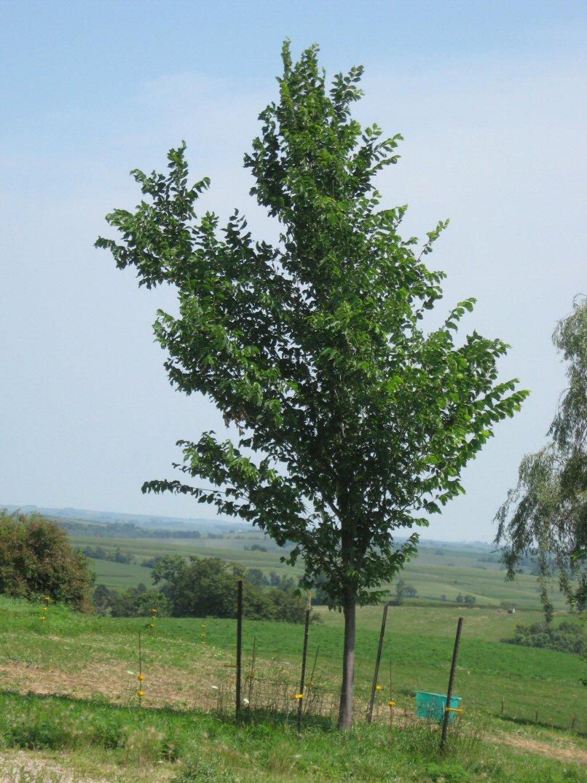 Kleckner oasis dutch elm disease for American elm
