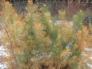 Pitlolly-Pine-Winter-Burn
