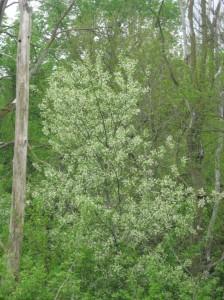 Black-Cherry-Flowering