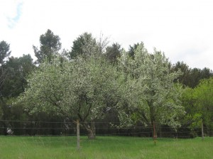 Orchard-Trees-Flowering