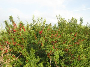 Nanking-Cherry-Fruit-Production