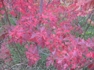 Amur-Maple-Fall-Colors