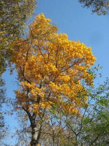 Bitternut-Hickory-Fall-Color