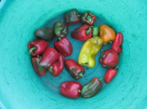 Colorful-Peppers