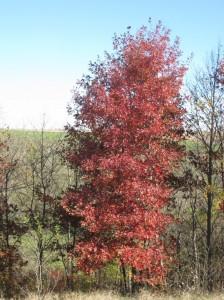 Columnar-Red-Oak