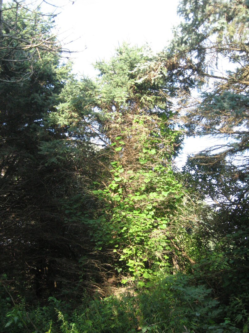 how to keep a blue spruce small