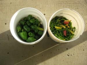 Pepper-Final-Harvest