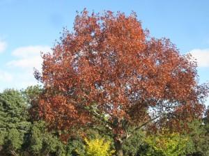 Red-Oak-Ginkgo