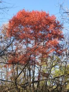 Red-Oak-Multiple-Trunks
