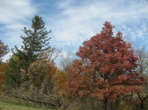 Red-Quercus-Alba