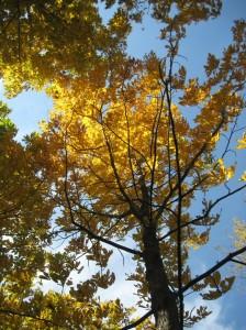 Shellbark-Hickory-Yellow