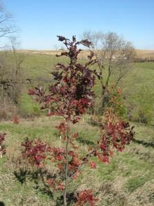 Shumard-Oak-Purple-Red-Fall