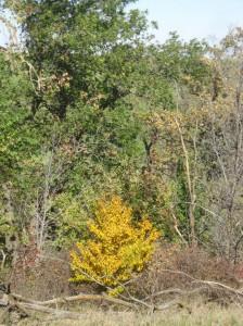 Yellow-Fall-Cherry-Tree