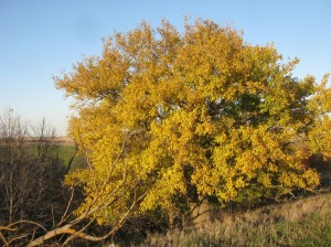 Yellow-Mulberry