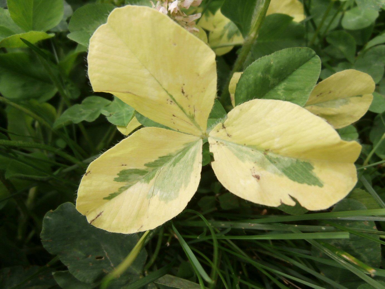 Kleckner Oasis Variegated Yellow Plant