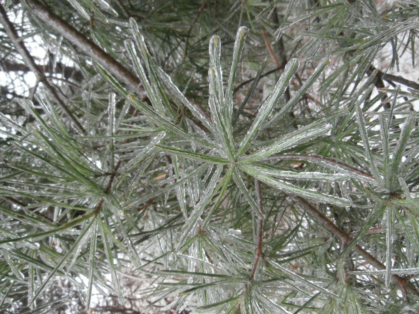 Fast Growing Christmas Trees