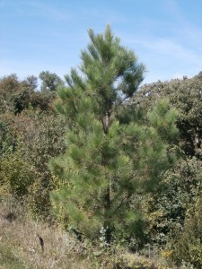 pitch loblolly pine