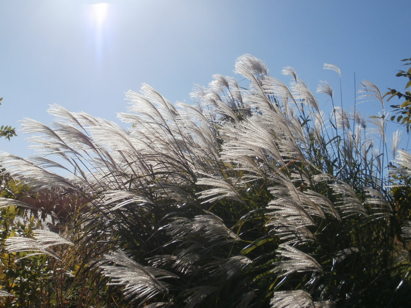 Kleckner oasis miscanthus giganteus for Tall grass with plumes