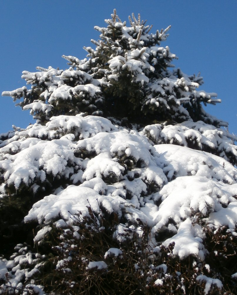 spruce tree snow - photo #46