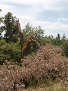 cottonwood damage