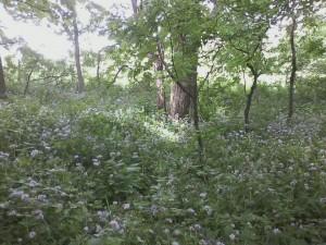 Virginia-Waterleaf-Blooming