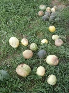 iowa melons