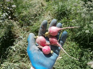 fall radish