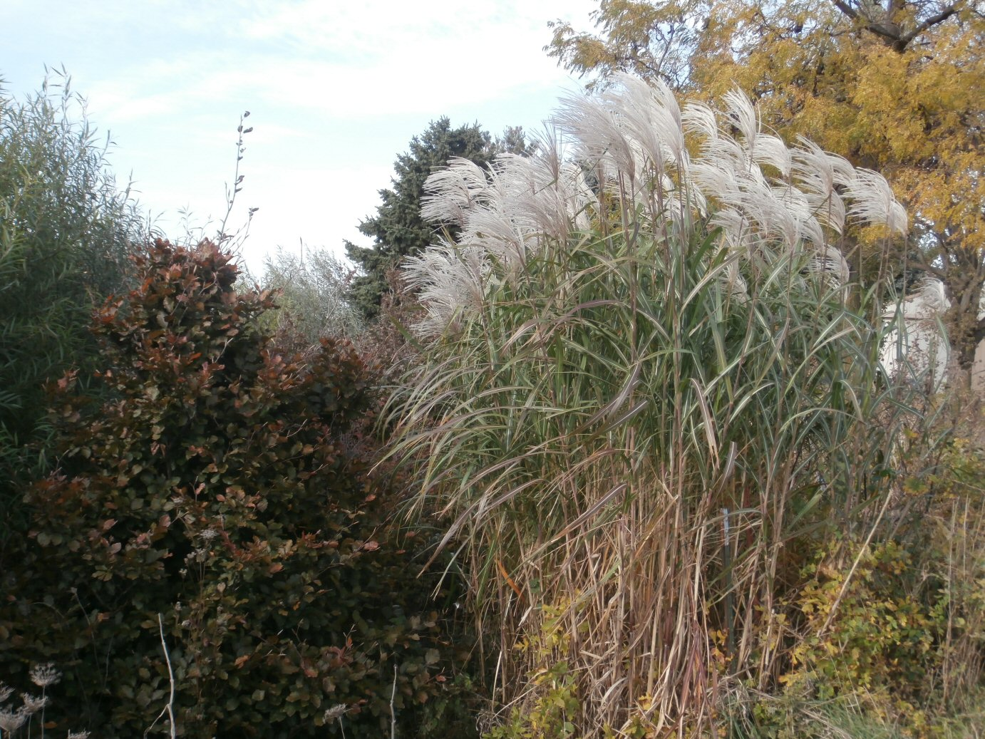 Kleckner oasis iowa miscanthus for Tall grass with plumes