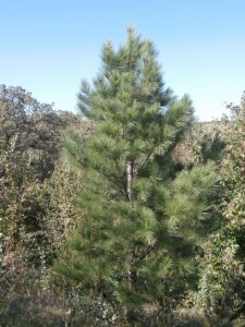 pitlolly pine