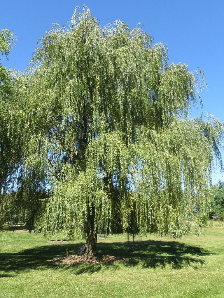 Fast growing weeping willow trees for Fast growing trees