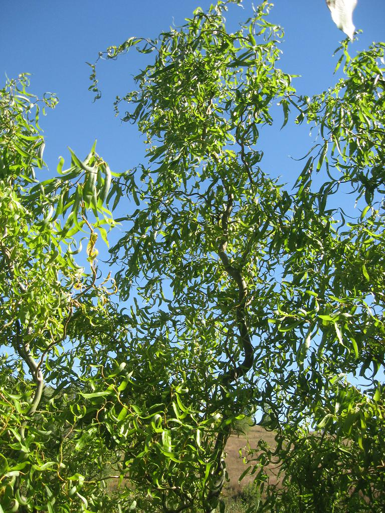 Willow shade tree - Fastest growing ornamental trees ...