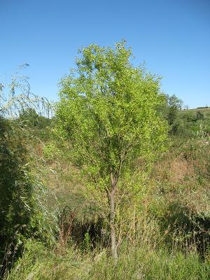 Fast growing willow tree for ornamental shade for Ornamental trees that grow in shade
