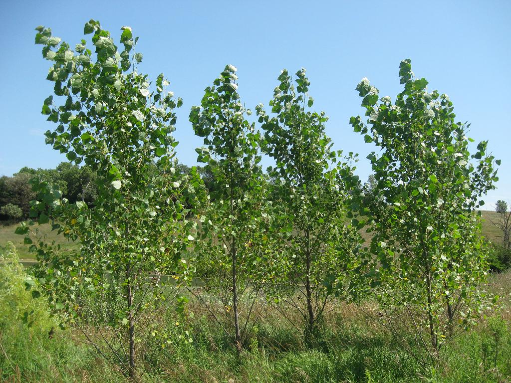 Fast growing hybrid poplar tree for Fast growing trees